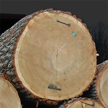 Hrvatsko drvo - Hrast